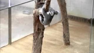 王子動物園 ソラ 木から降りて 木から木へ 地面を走って また木に登ります.