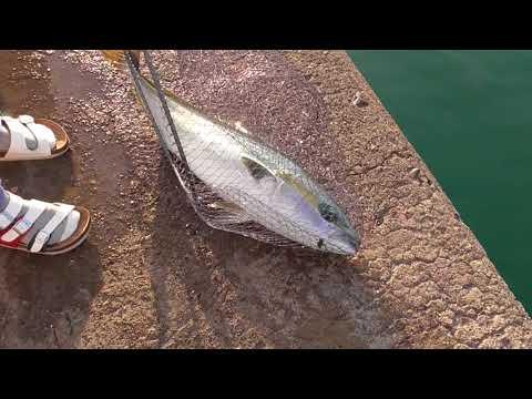 半時間あまりの格闘の末獲りこんだ大型青物魚ブリ 和歌山釣太郎