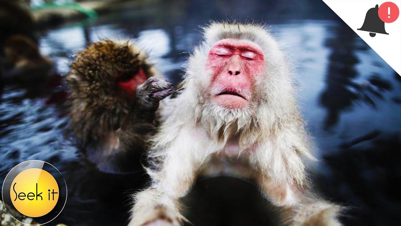 जापान के गरम पानी में नहाने वाले बंदरों की दिलचस्प कहानी - Seek it