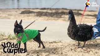 Duck Follows His Dog Best Friend Everywhere | The Dodo Odd Couples