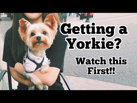 Getting a Yorkie Puppy?