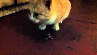 Как ловить мышей - используем хищных животных / Cat eating mouse