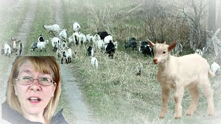 WE RESCUED MINIATURE GOATS! Day 118 (04/26/20)
