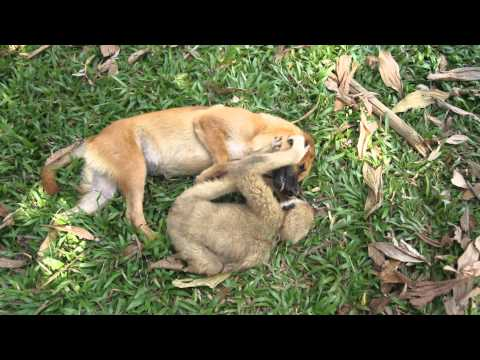 Baby gibbon play with dog in khao sok