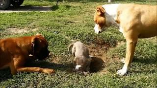 #Amstaff #Puppy #Yankee - Work, work, work, work, work