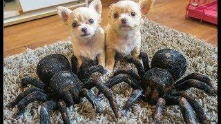 Spider vs Puppy Dogs!!