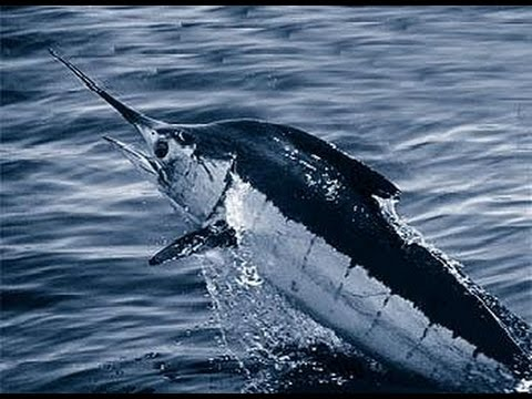 Facts: The Blue Marlin