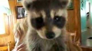 MARINAS PET RACCOON