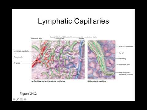 Chapter 24 Lymphatic System Part1