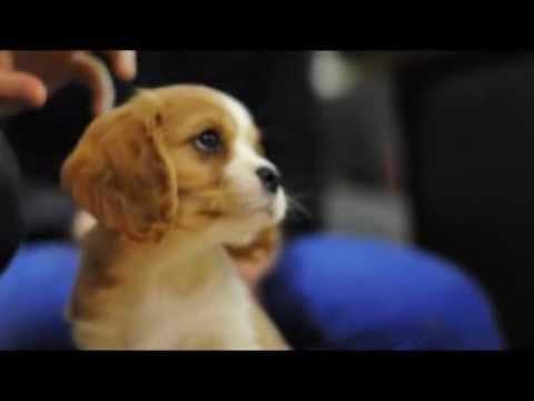 New Cavachon Puppy