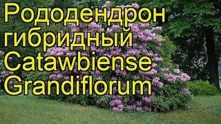 Рододендрон гибридный Катевбинский Грандифлорум. Краткий обзор rhododendron Catawbiense Grandiflorum