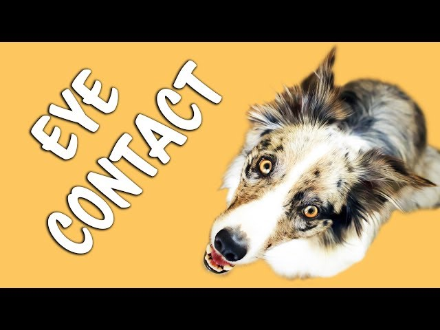FASTEST and EASIEST way to train EYE CONTACT - Dog Training by Kikopup