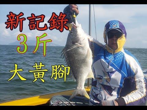 【香港釣魚】《破記錄3斤大黃腳鱲》