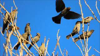 Repeat youtube video The natural sound of birds chirping + horses trotting and nickering