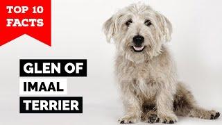 Glen Of Imaal Terrier  Top 10 Facts