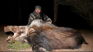 HUNTING BUSH PIGS IN SOUTH AFRICA