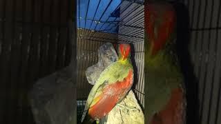Suara Burung Pelatuk Bawang GACOR nembak  masteran cucak ijo , murai , kacer , prenjak, anis, pleci