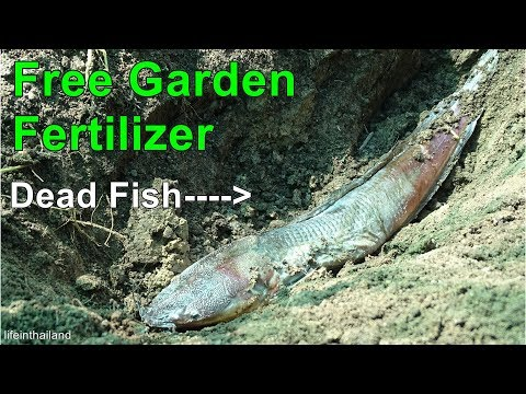 Turning A Dead Fish Into Garden Fertilizer, Nothing Is Wasted.