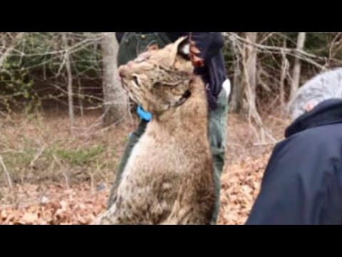 Bobcat Attacks Golfer At Connecticut Course As Friends Fought It Off By Hitting It With Golf Clubs