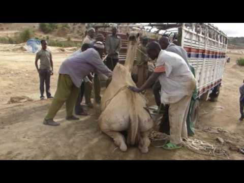 Camel loaders devise a new way to load a camel into the track