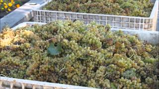 Harvesting and pressing Chardonnay grapes in the Napa Valley, California