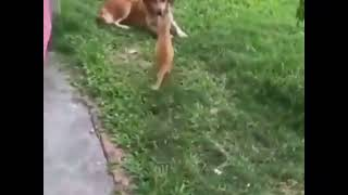 Cat jumping on dogs face