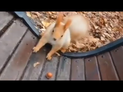Friendly wild squirrels collide over tasty walnut
