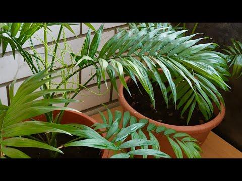 Вопрос: Правда ли , что бамбуковая пальма за 24 часа вырастает на 10 см.?
