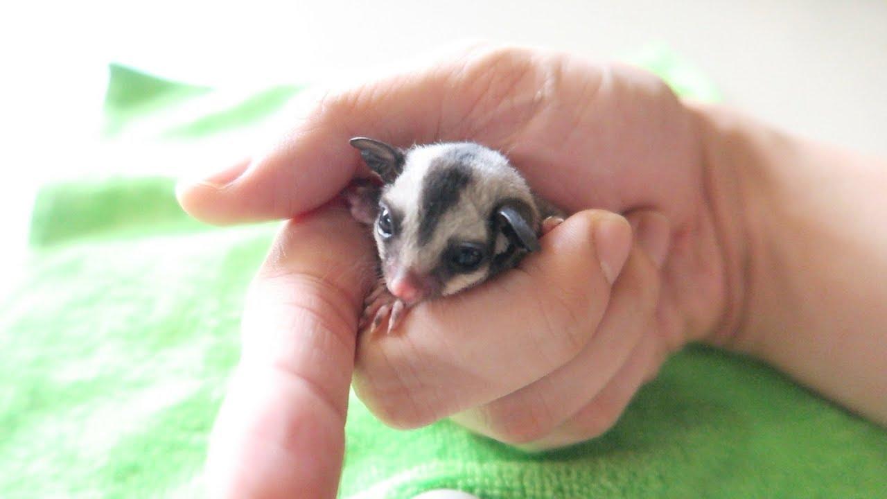 Cutest Baby Sugar Glider Finally Opened Her Eyes - YouTube