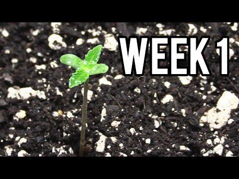 WEEK 1 GROWING AUTOFLOWER CANNABIS INDOORS!