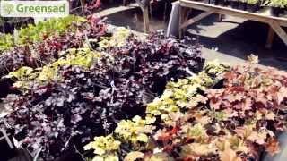 видео Гейхера в ландшафтном дизайне: выращивание и уход