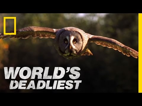 Super-Hearing Helps Owl Hunt | World's Deadliest
