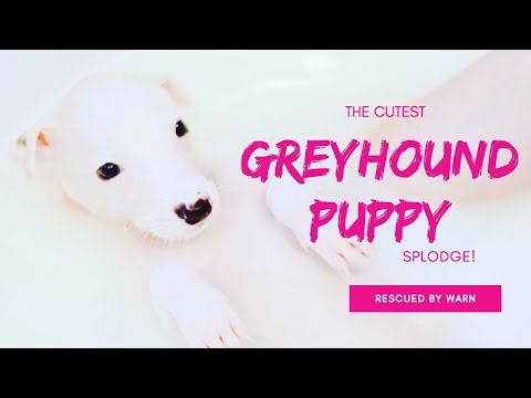 The cutest greyhound puppy!