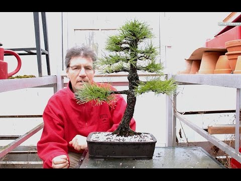 Austrian Pine Bonsai, April 2016