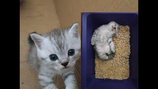 ПРИКОЛЫ С КОТЯТАМИ! ВИДЕО ПРО КОТЯТ 2019 😻 МИЛЫЕ КОТИКИ И СМЕШНЫЕ КОТЯТА БЕСЯТСЯ Шотландские котята