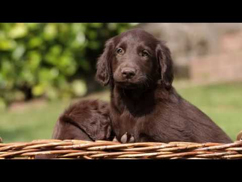 Flat Coated Retriever - medium to large dog breed