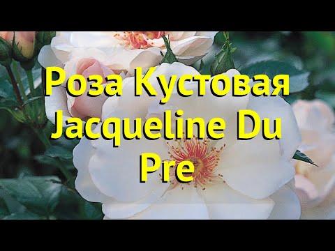 Роза кустовая. Краткий обзор, описание характеристик, где купить саженцы Jacqueline Du Pre