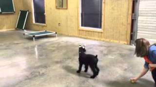"Giant Schnauzer ""gidget"" Early Obedience Training Dog For Sale"