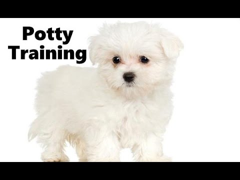 How To Potty Train Maltipoo Puppy