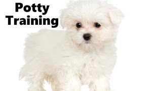 How To Potty Train A Maltipoo Puppy - Maltipoo House Training Tips - Housebreaking Maltipoo Puppies