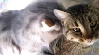 Коты любовники, кот любит кота ! ( коты проказники)