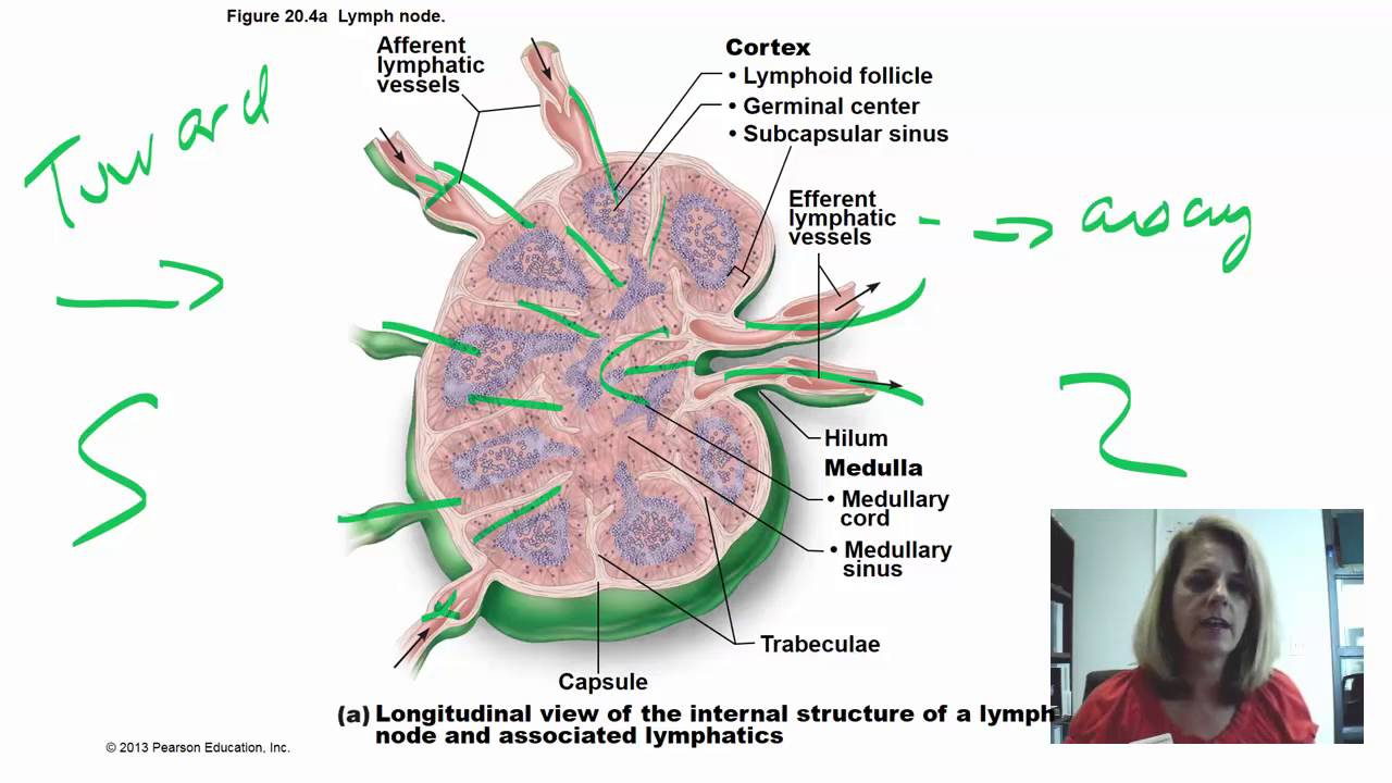 lymphatic lab Are readings from cbc lab results- lymph auto 42-lymph auto % 53-neutro auto 31-neutro auto % 386-wbc 80 and rbc 439 in a normal rangeconcerned dr gurmukh singh dr singh lab tests need to be: interpreted in the clinical context.