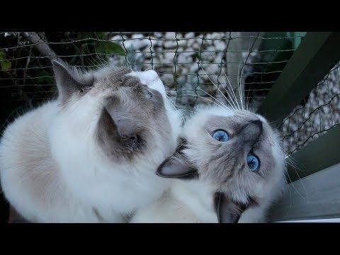 Life is beautiful when you have (two Ragdoll) Cats!