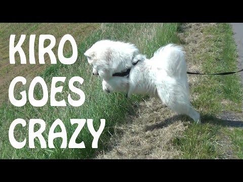 Samoyed Kiro goes crazy