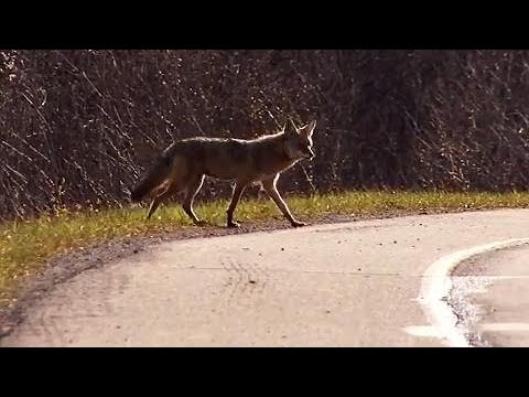The 3 Things You Need To Know To Protect Yourself From Coyotes