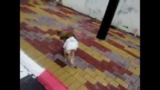 כלב עם טיטול (: