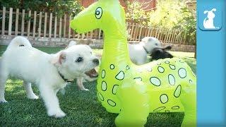 Precious Havanese Puppies Battle DINOSAUR! - Puppy Love