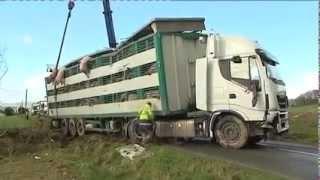 100 cochons périssent dans un accident de bétaillère