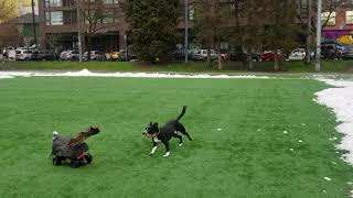 Russell the Roboturkey being chased by a dog at the park