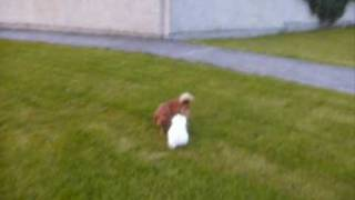 Jack Russell X Pomeranian & Maltese Puppy Playing